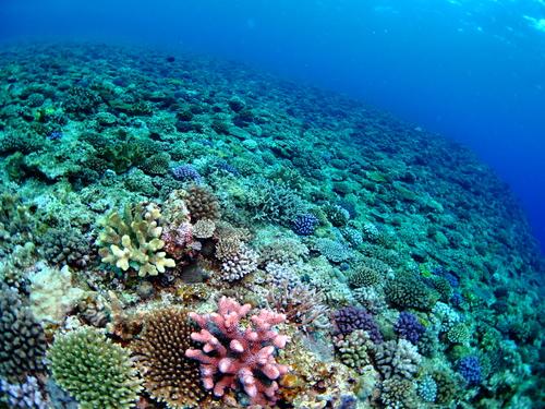Sango Koralle auf Okinawa